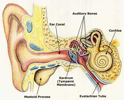 Ear Diagram Picture on Human Ear Diagram Label